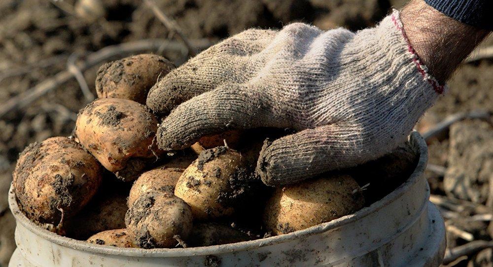 Когда копать картофель в Красноярском крае