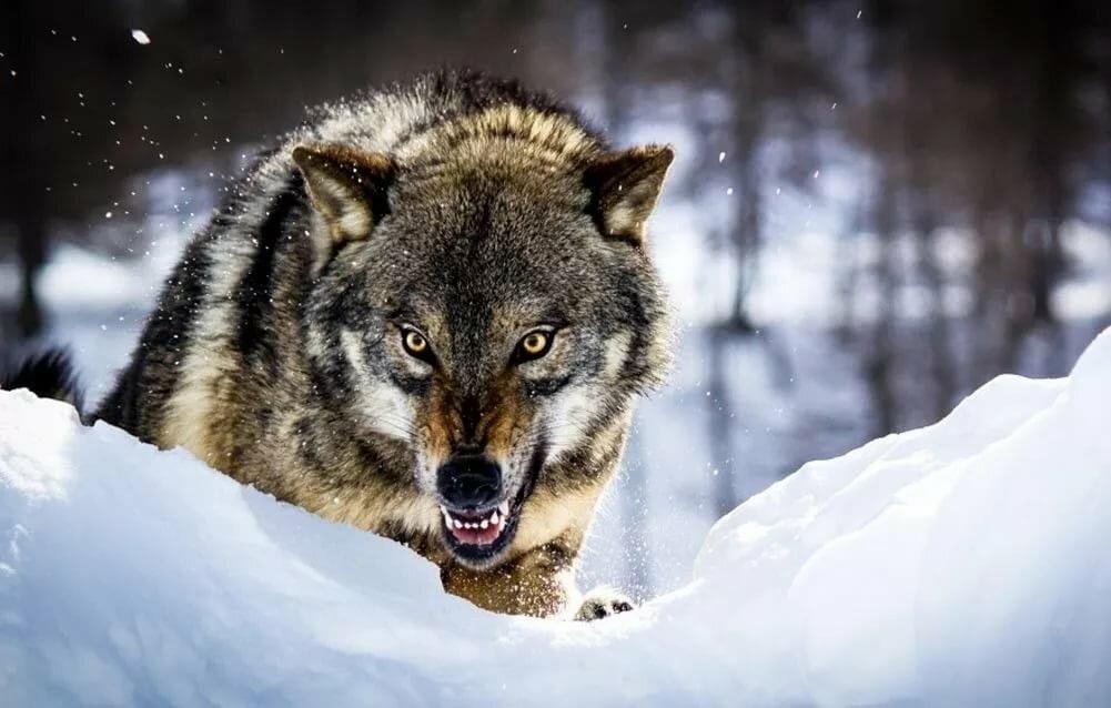 оскал волка фото на рабочий стол позвонила своему