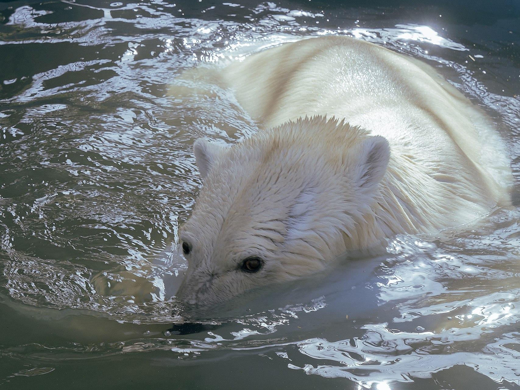 В Красноярск прибыл белый медведь-скиталец из Диксона