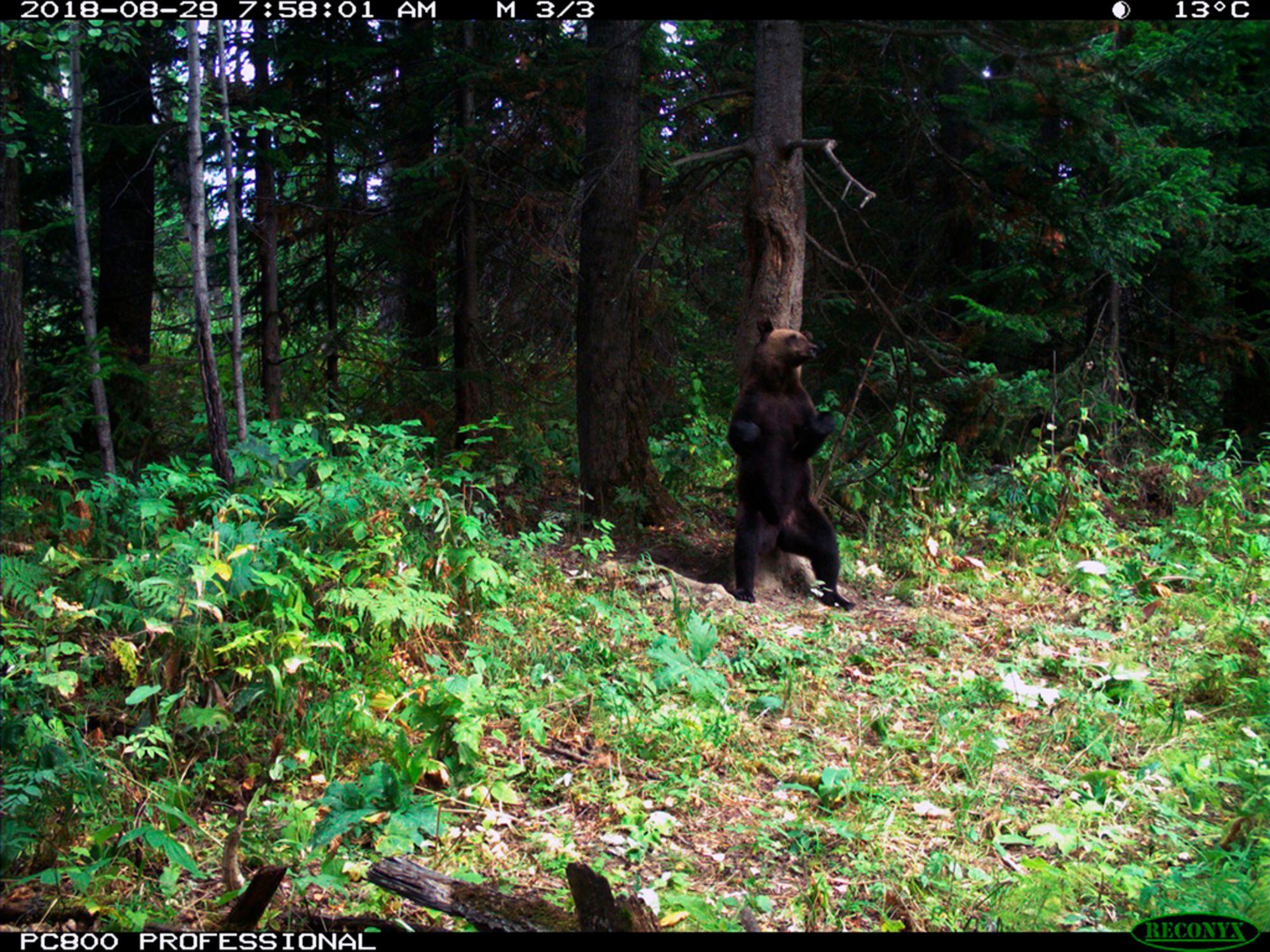 Танцующий в Красноярске на Столбах медведь победил в национальном конкурсе фото