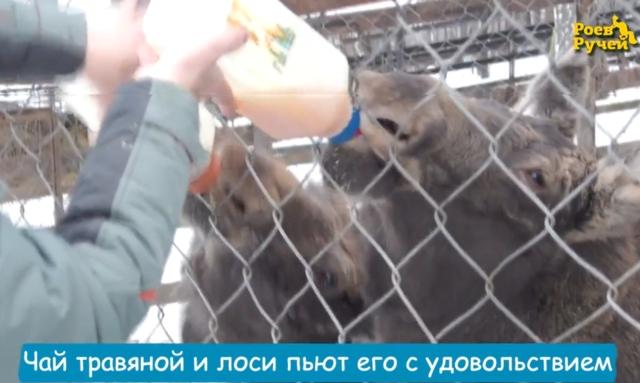В красноярском зоопарке в морозы обезьян поят глинтвейном, а лосят – чаем