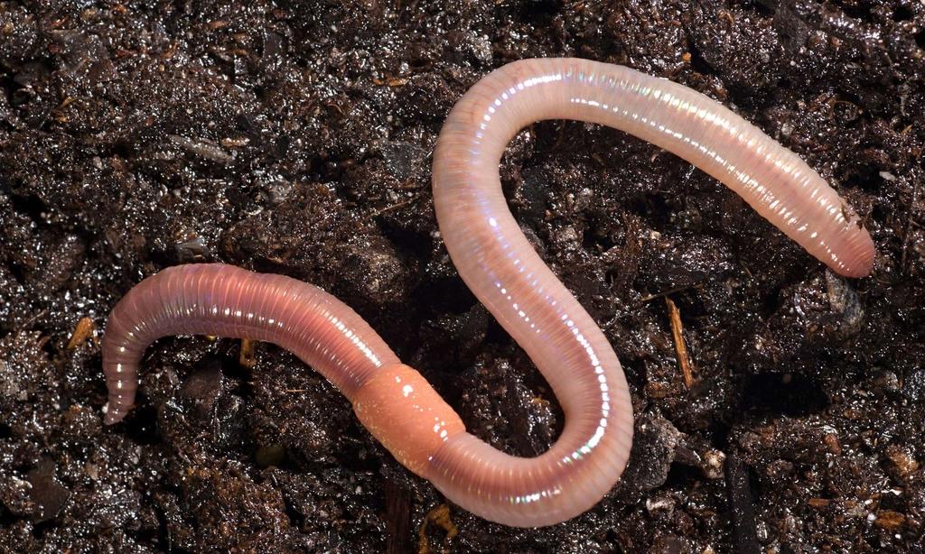 Как увеличить количество дождевых червей на участке