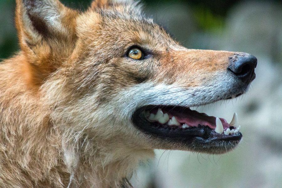 Отстрел волков на севере Красноярского края будут вести даже с воздуха