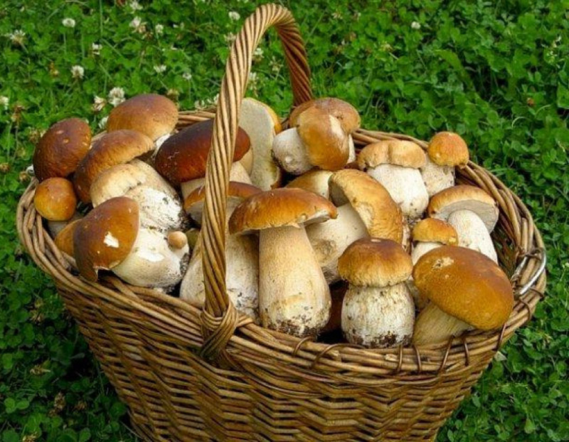 какие грибы где собирать