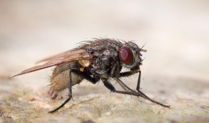 Красноярцев предупредили о мушке, переносящей опасное инфекционное заболевание – холеру