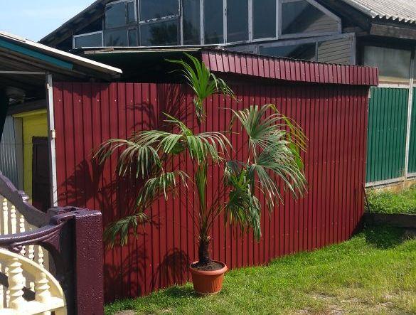 """""""Городские новости"""" нашли новый дом для пальмы с правобережья"""