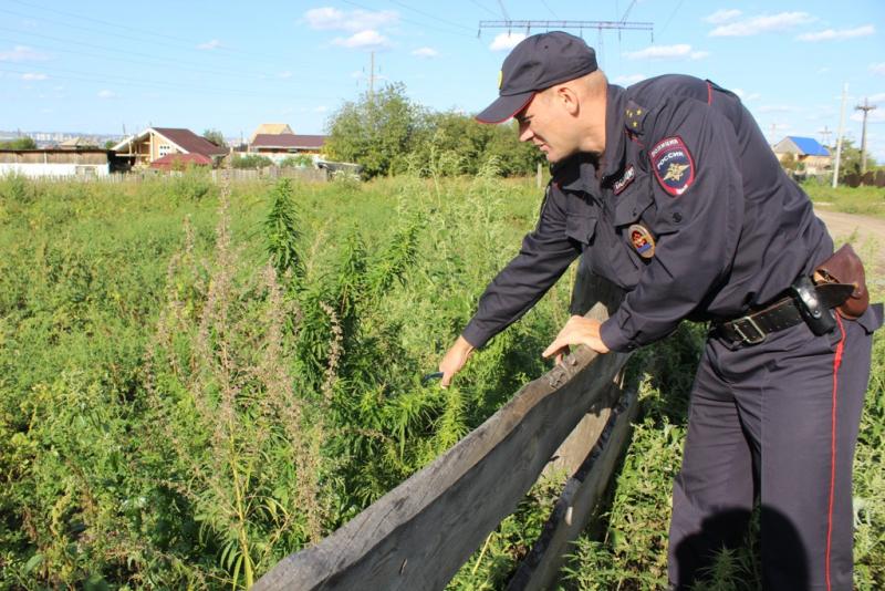 Красноярские полицейские обнаружили 27 участков конопли