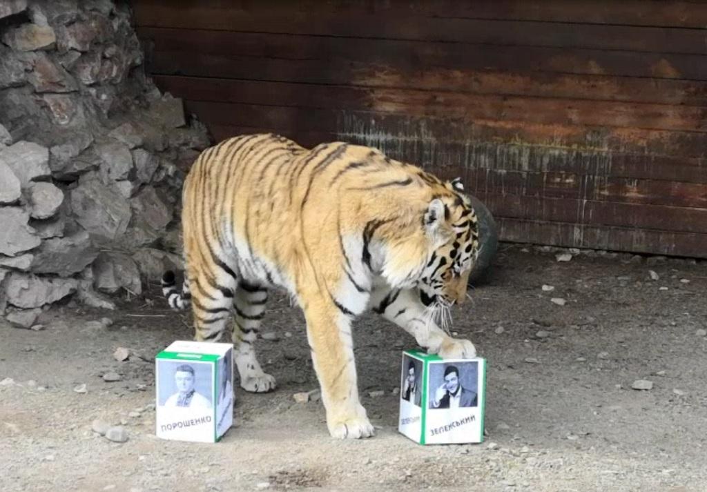 Красноярский тигр выбрал президента Украины во втором туре