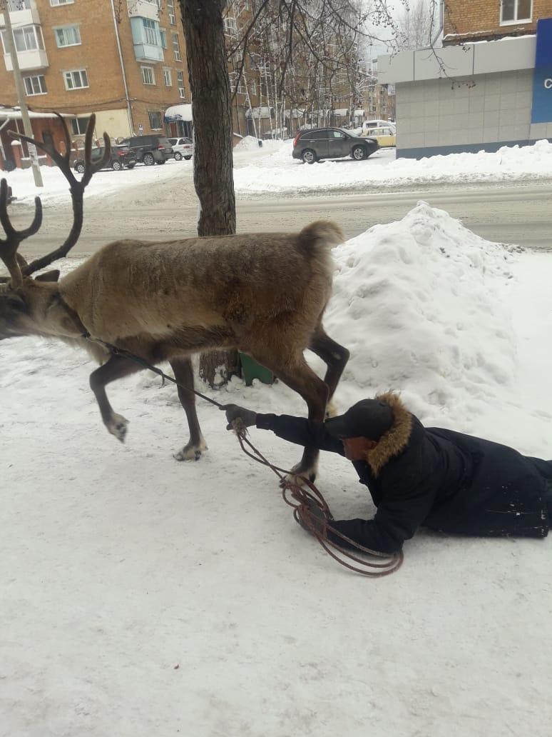 В Красноярском крае вместо собак выгуливают оленей