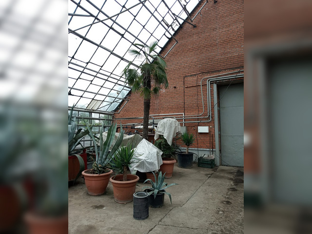 В Красноярске есть пальма - домосед