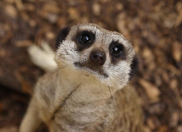 Красноярский зоопарк «Роев ручей» приглашает отметить День суриката